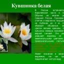 0013-013-Kuvshinka-belaja