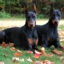 Доберма́н — порода короткошёрстных служебных собак, выведенная в Германии, Тюрингии, в городе Апольда в конце XIX века Карлом Фридрихом Луисом Доберманном, названа в честь своего создателя.