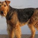 Эрдельтерьер — порода собак. Родина породы — долина реки Эйр в графстве Йоркшир