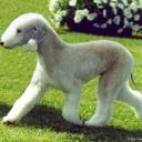 Бедлингто́н-терье́р - охотничья порода собак.