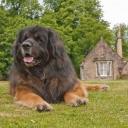 Леонбе́ргер — крупная порода собак. Эта порода названа в честь города, где была выведена, — Леонберг в Германии. Её создатель — мэр города Генрих Эссиг