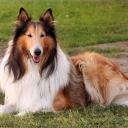Ко́лли — группа пород пастушьих собак, происходящих из Шотландии и Северной Англии. Группа включает как официально признанные кинологическими организациями породы, так и малочисленные местные породы и отродья.