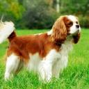Кавалер-кинг-чарльз-спаниель — порода собак-компаньонов, маленький спаниель. Как и все спаниели, может поднимать птицу в подлеске, но всегда использовался именно в качестве домашнего любимца.