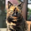 Трёхцветная кошка — домашняя кошка с пятнами чёрного, белого и рыжего цветов; чёрный  и рыжий под воздействием генов, видоизменяющих их оттенки, могут превращаться, соответственно, в голубой и кремовый, шоколадный и