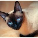 Тайские кошки — родственники сиамских, общие предки которых жили в в Тайланде еще шесть веков назад. Современный вид тайских кошек соответствует стандарту сиамской породы 19 века.