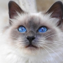 Священная бирма— порода полудлинношёрстных кошек колор-пойнтового окраса, которая по одной из легенд ведёт своё происхождение из Бирмы. Её не следует путать с бурманской кошкой, которая является отдельной породой короткошёрстных.