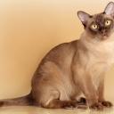Бурманская короткошёрстная кошка — порода короткошёрстных кошек. Кошку бурманской породы отличает мускулистое, крепкое тело, короткая блестящая шерсть, большие округлые глаза жёлтого цвета.