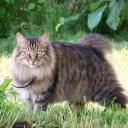 Курильский бобтейл — короткохвостые, с «хвостом-помпоном», кошки. Не боятся воды и низких температур, отличные рыболовы.