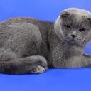 Шотла́ндская вислоу́хая кошка или скоттиш-фолд  — порода кошек с характерным строением ушных раковин, которые загнуты вперёд и вниз. Причиной необычной внешности этих кошек является естественная генная мутация.