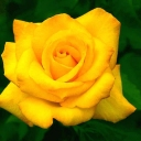 yellow-alone-rose-1024